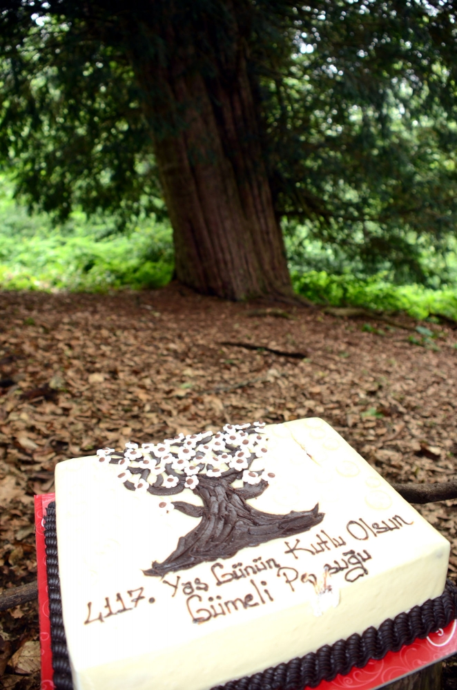 Türkiyenin En Yaşlı Ağacına Koruma Projesi